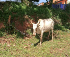 soccer-cow