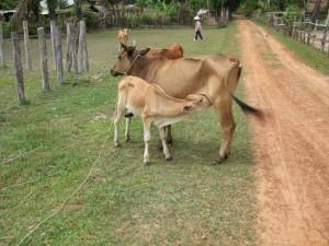 Beware of free range cows.