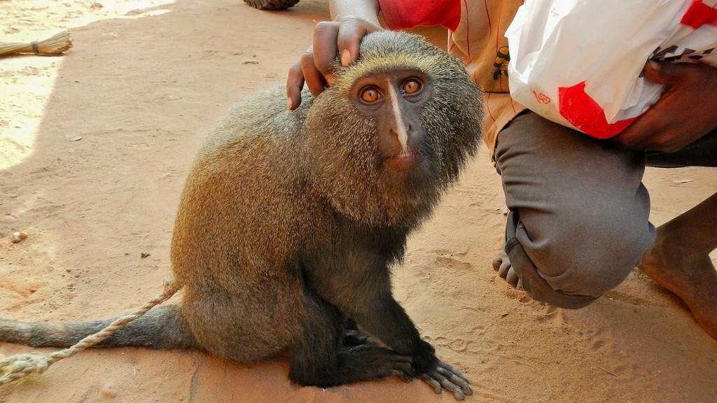 Pet monkey in Baraka, Congo